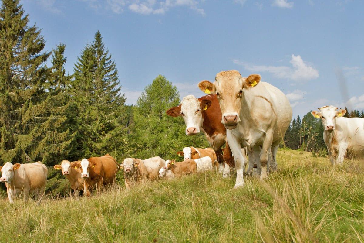 Nockfleisch-Bergbauer-Almwirtschaft-Rinderherde-2