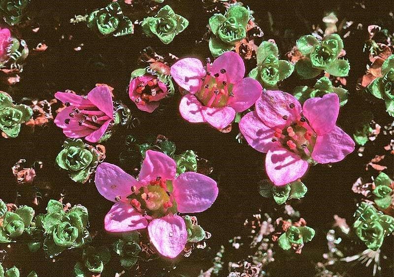 Wimpern-Steinbrech-Blume