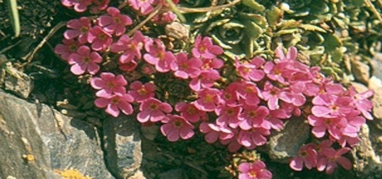 Wulfen-Mannsschild-Blume